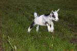 Lammetje Spring in het veld