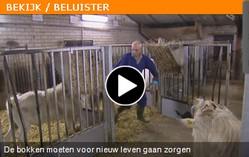 Omroep Brabant - Bokken mogen wer aan de bak.